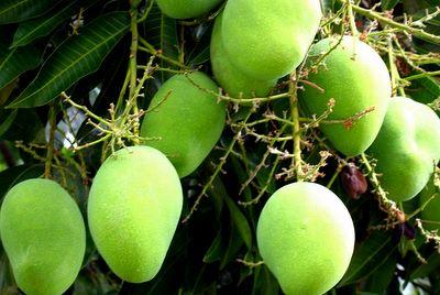 Kisah Dua Pohon Mangga Menuai Sengketa