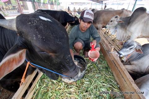 Kebijakan Swasembada Daging Sapi Dinilai Amburadul